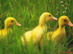 芬兰语小动物:鸭与小鸭