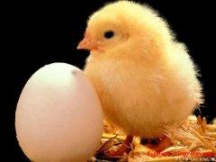 芬兰语小动物:鸡与小鸡